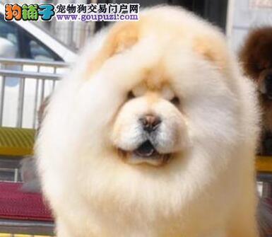 双冠纯种赛级松狮幼犬高品质血统