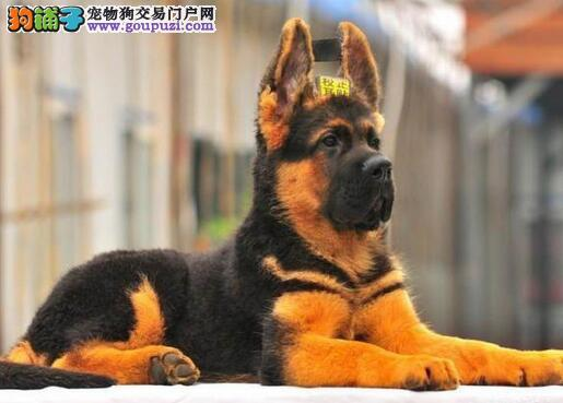 高品质警用昆明德国牧羊犬找新家 看家护院的好帮手