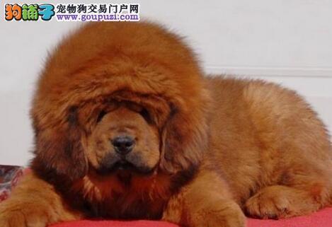 出售纯种大狮头大长毛昆明藏獒幼犬 狗贩子勿扰