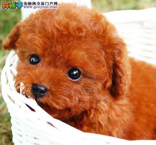特价优惠 健康质保的小泰迪犬咸阳热卖三包送送礼品