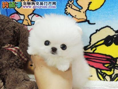 犬舍低价直销纯种哈尔滨博美犬 周边地区可送货上门
