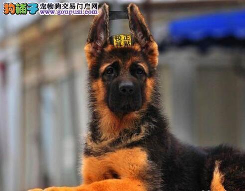 促销价出售极品大头锤系德国牧羊犬 可来南京犬舍选购