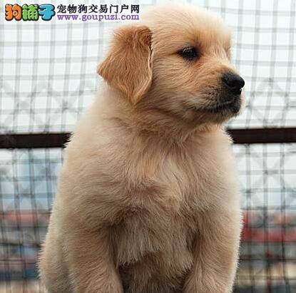 湛江家养纯种金毛犬转让骨骼粗壮毛色鲜亮