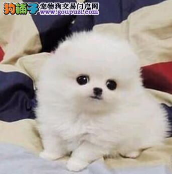 信誉狗场出售哈多利版乌鲁木齐博美犬 已做好疫苗