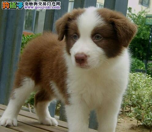 重庆犬舍直销纯种血统边境牧羊犬 七白三通智商第一