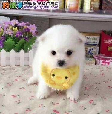 深受女神们最爱的球型博美犬 重庆健康出售 上门优惠