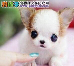 石家庄超可爱的小体吉娃娃宝宝开卖啦 售后服务好