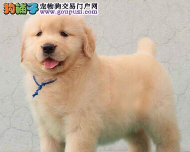 纯种赛级品质的甘南州金毛犬热卖中 骨架大毛量足