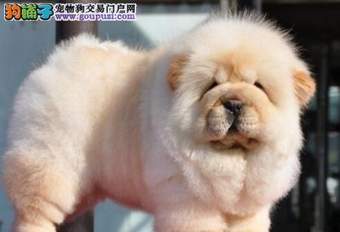 海口狗场出售赛级品相的松狮犬 肉嘴紫舌头 包纯种