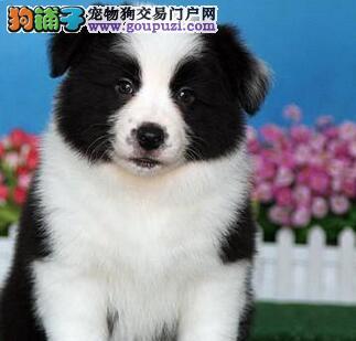 高品质纯血统的武汉边境牧羊犬找新家 疫苗齐全