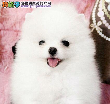 CKU认证犬舍出售高品质博美犬终身质保终身护养指导