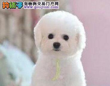 品质健康有保障武汉比熊热卖中武汉地区可包邮