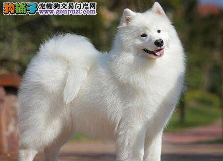 转让自家繁殖的杭州萨摩耶 签订活体协议 可见狗父母