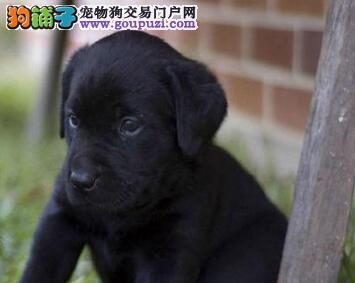 养殖场出售血统纯正西安拉布拉多犬签协议