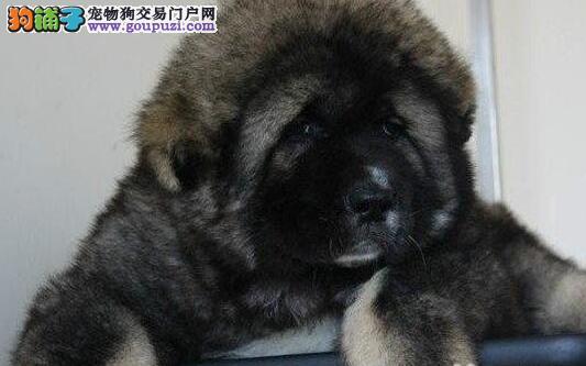 黄浦专业狗场繁殖纯种大骨架高加索犬 现低价出售