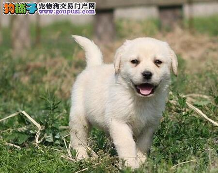 精品纯血统天津拉布拉多犬热销 可签合同售后有保障