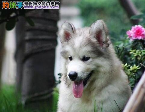 重庆高品质哈士奇犬出售专业繁殖签协议可上门挑选