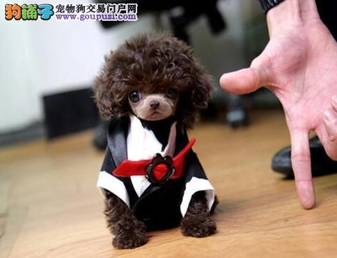 专业正规犬舍热卖优秀的泰迪犬品相一流疫苗齐全