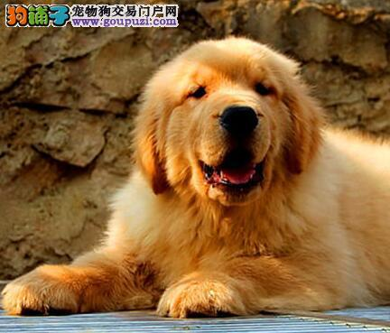 广州大型犬舍出售纯血统金毛犬 保证健康质量 品相佳