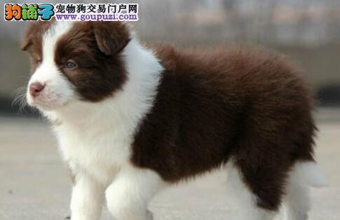 上海出售边境牧羊犬上海那边有边境牧羊犬