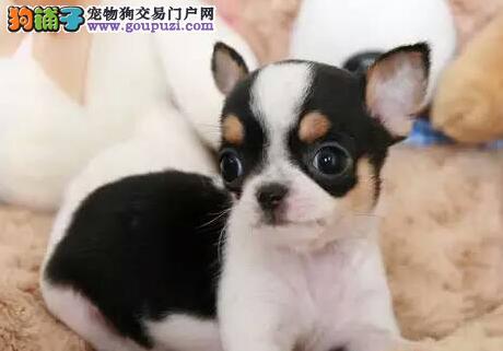 出售墨西哥大眼睛苹果头吉娃娃幼犬欢迎上门选购