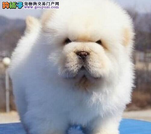 出售憨厚忠诚紫舌头肉嘴的广州松狮犬 一分价钱一分货