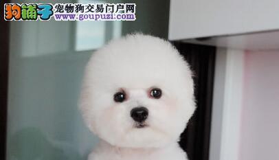郑州出售颜色齐全身体健康比熊诚信经营三包终身协议