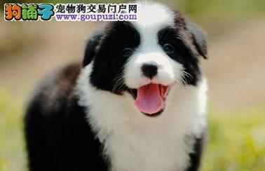 赛级纯种聪明边境牧羊犬幼犬健康活泼包品质