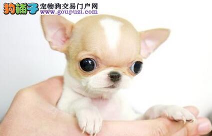 出售吉娃娃幼犬、金牌店铺信誉第一、寻找它的主人