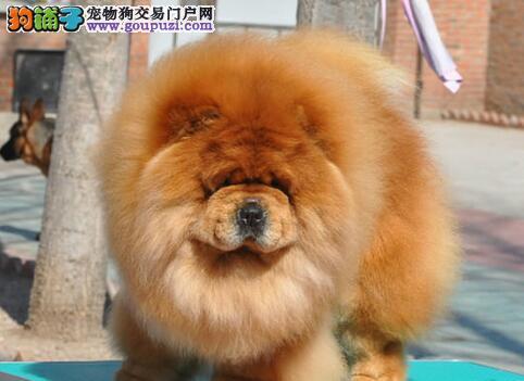 郑州本地出售高品质松狮宝宝市内免费送货