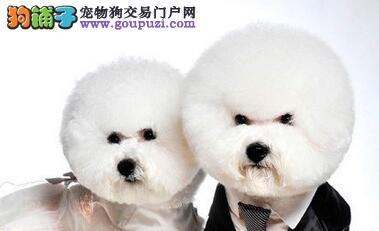 专业狗场繁殖/超可爱保健康比熊宝宝出售!---点击