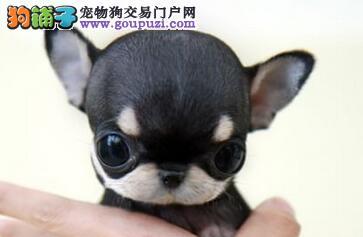 家养吉娃娃犬品相可爱体型较小健康质保多只挑选