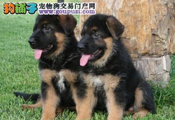特训德国牧羊犬重庆犬场直销 百分之百纯种健康 超完美