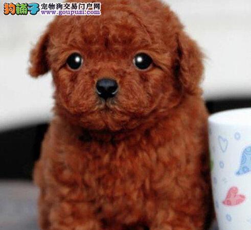 狗场直销重庆纯种贵宾犬 包养活纯种健康 送用品签协议