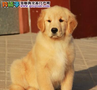 广州低价出售两个月黄金猎犬