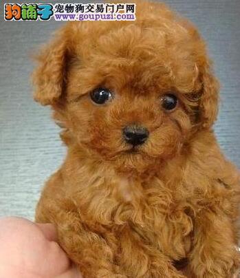 鞍山实体狗场出售实物拍摄的泰迪犬 多种颜色任君选择
