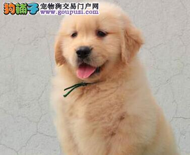 出售品质极佳的纯种济南金毛犬 签订售后质保协议