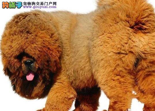 知名犬舍出售多只赛级藏獒CKU认证品质绝对保障