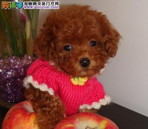 大型犬舍专业繁殖贵阳贵宾犬 品种纯种有血统证书