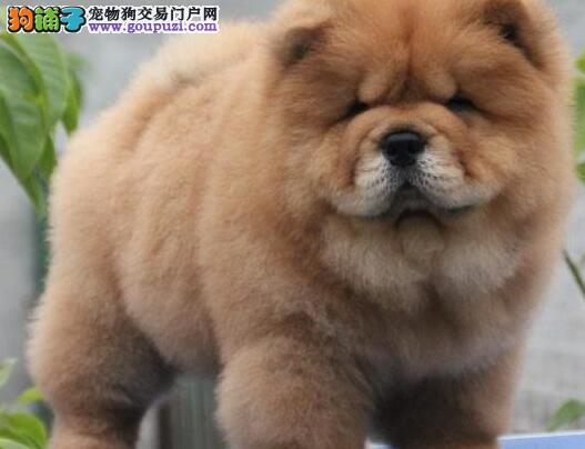 杭州犬舍出售多种颜色的松狮犬 性格独立机敏值得拥有