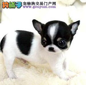 吉娃娃天津CKU认证犬舍自繁自销加微信送用品