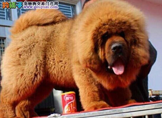 顶级优秀狮王血系藏獒深圳自家狗场出售 可刷卡购买