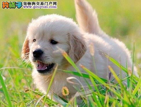 精品纯种金毛犬全国免费送货 包纯种健康