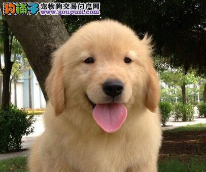 出售大骨架苏州金毛犬 毛色品相佳身体健康有保证