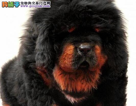 大狮头铁头包金的沈阳藏獒热销中 建议您上门选购看狗