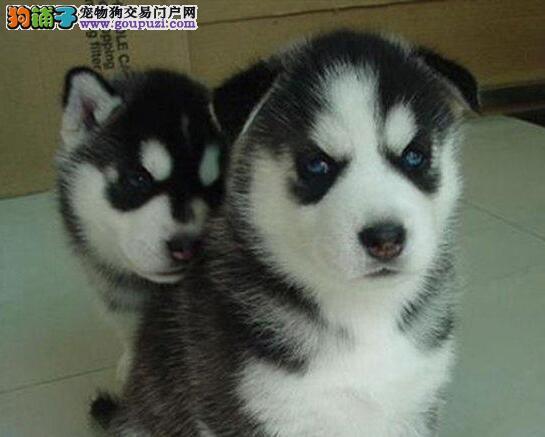 出售哈士奇雪橇犬狗狗公母都有,纯种繁殖健康品质保证