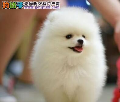乖巧可爱的桂林博美犬低价出售 温顺聪明 值得您拥有