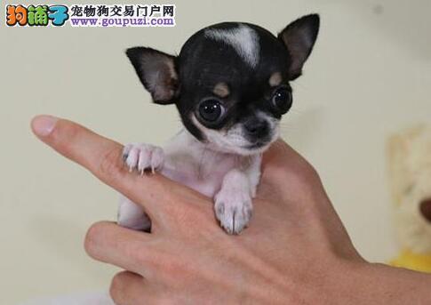 杭州宠物园的吉娃娃宝宝