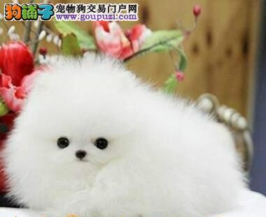 纯种哈多利版北京博美犬 身体健康有保证支持空运