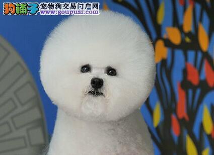 甜美脸型的桂林比熊宝宝找粑粑麻麻 欢迎各界人士光临